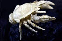 立体図鑑  深海生物プレミアムボックス ゴエモンコシオリエビ