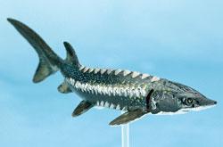立体図鑑 フォッシルフィッシュボックス カラチョウザメ