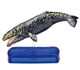 立体図鑑マリンママルボックス コククジラ フィギュア