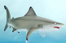 立体図鑑 シャークデラックスボックス オオメジロザメ