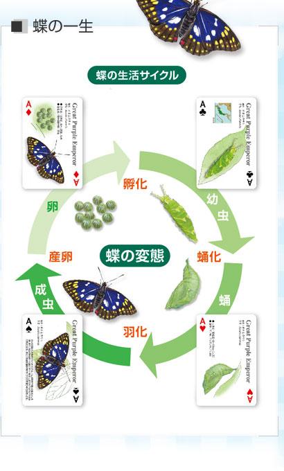 蝶の一生〜蝶の生活サイクル