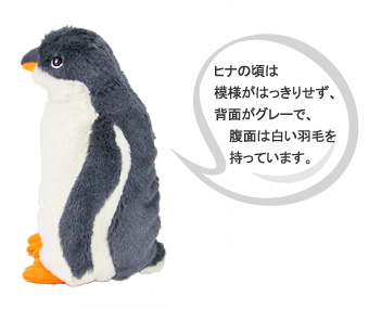 ジェンツーペンギンのヒナの頃は模様がはっきりせず、背面がグレーで、腹面は白い羽毛を持っています