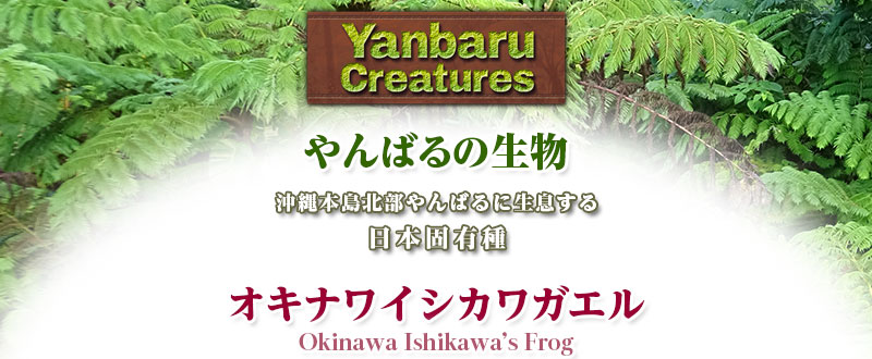 リアル 動物 生物 ぬいぐるみ やんばるの生物 オキナワイシカワガエル