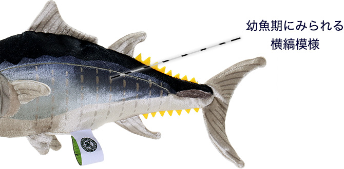 クロマグロ 幼魚 特徴